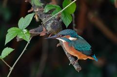 martin-pêcheur A9A_9114 (Bernard Fabbro) Tags: alcedo atthis martinpêcheur kingfisher eisvogel oiseau bird