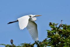 Great Egret in flight with wings down (wayne kennedy EDD) Tags: greategret egret bird staugustinealligatorfarm florida inflightphoto
