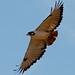 Samburu bird