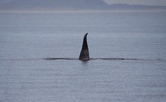 Orca 2019-09-01 SU IMG_9663 (acturpin) Tags: orca pugetsound