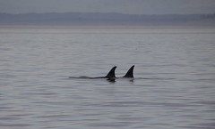 Two Orcas 2019-09-01 SU IMG_9627 (acturpin) Tags: orcas pugetsound