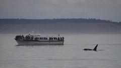 Orca alongside MV Redhead 2019-09-01 SU IMG_9509 (acturpin) Tags: orca mvredhead