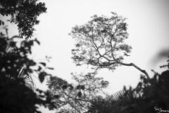 Rainforest (Kusi Seminario) Tags: tambopata madrededios peru southamerica sudamerica nature rainforest selva jungle amazon amazonia amazonas travel outdoors bw blackandwhite blancoynegro