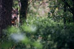 The Observer II (generalstussner) Tags: wolf grauwolf natur nature bäume trees hidden observe observing eosr canislupus versteckt