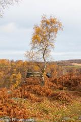 Lonesome Birch; Gardom's Edge, Peak District, Derbyshire (Mick PK) Tags: birch canon derbyshire eastmidlands england gardoms gardomsedge nationalpark peakdistrict peakdistrictnationalpark places tree uk