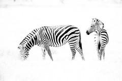 High Key Zebra (Thomas Retterath) Tags: thomasretterath nature natur 2018 safari nopeople okavangodelta botswana africa afrika khwai wildlife highkey zebra equidae pflanzenfresser herbivore säugetier mammals animals tiere epuusquagga specanimal specanimalphotooftheday coth coth5