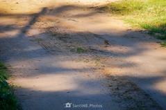 Defendiendo el camino (SantiMB.Photos) Tags: 2blog 2tumblr 2ig invierno winter tordera maresme pájaro bird petirrojo robin camino way path sendero geo:lat=4171615675 geo:lon=272829725 geotagged cataluna españa