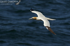 Northern Gannet (Morus bassanus) (gcampbellphoto) Tags: northern gannet morus bassanus seabird avian nature wildlife bird flight bif north antrim ballycastle county ireland gcampbellphoto