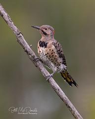 Northern Flicker (Bill McDonald 2016) Tags: billmcdonald naturephotography northernflicker flicker bird avian woodpecker ontario canada perched perching