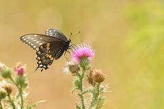 Black Swallowtail (Rob E Twoo) Tags: toronto canada nature butterfly outdoor wildlife adventure explore blackswallowtail naturaleza
