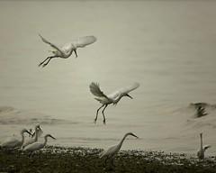 Snowy Egrets Cape Cod MA (wfgphoto) Tags: beach water fog land snowyegrets capecodma wingswhite