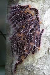 Carterpillar (Kusi Seminario) Tags: tambopata madrededios peru southamerica sudamerica nature rainforest selva jungle amazon amazonia amazonas travel outdoors mariposa oruga butterfly