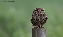 Little owl (KJB Photography.) Tags: little owl bird prey post fen hunt barn wetland grassland farmland