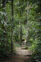 Rainforest (Kusi Seminario) Tags: tambopata madrededios peru southamerica sudamerica nature rainforest selva jungle amazon amazonia amazonas travel outdoors forest trail trees arboles