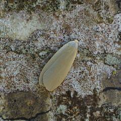 Dingy Footman / Lithosie Grise (Dr Wood's Wildlife Photos 2019) Tags: dingyfootman eilemagriseola lithosiegrise bleigraueflechtenbärchen gladbeertje tuhkakeltasiipi askgrålavspinnare grålavspinder erebidae moth 2044 arctiidae arctiinae