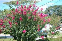 Healthy Crepe Myrtle. (dccradio) Tags: lumberton nc northcarolina robesoncounty outside outdoor outdoors nikon d40 dslr september monday laborday labordaymonday mondaymorning morning goodmorning flower flowers floral plant crepemyrtle crapemyrtle shrub bush flowering bloom blooms blooming blossom blossoms blossoming pink sky bluesky clouds utilitylines utilitywires powerlines powerwires electriclines electricwires