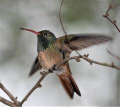 Buff-bellied Hummingbird [Northern] (Amazilia yucatanensis chalconota) 02-01-2005 Frontera Audubon Center, Hidalgo Co. TX 4 (Birder20714) Tags: birds texas hummingbirds trochilidae amazilia yucatanensis chalconota