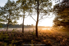 Sunrise Heather Landscape (Manuel Speksnijder) Tags: sunrise zonsopkomst dawn dageraad heide heather landscape landschap trees bomen flowering bloeiend putten nederland veluwe nature natuur canoneos5dmarkiii canon ef1635mmf28liiusm krachtighuizen gelderland netherlands
