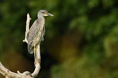 Yellow-crowned Night-Heron (Steve Liffmann) Tags: yellowcrownednightheron