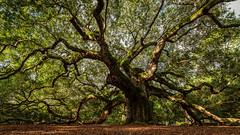 Arms of an Angel (carolina_sky) Tags: angeloak johnsisland southcarolina sc southernliveoak tree charleston ocean lowcountry seabrookisland kiawahisland skymatthewsphotography landscape green leaves branches pentaxk1 pentax1530mm pixelshift
