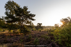 Sunrise Heather Landscape (Manuel Speksnijder) Tags: sunrise zonsopkomst dawn dageraad heide heather landscape landschap nature natuur trees bomen flowering bloeiend putten krachtighuizen gelderland netherlands nederland veluwe canoneos5dmarkiii canon ef1635mmf28liiusm