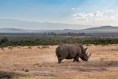 His Only Natural Predators are Humans (Jill Clardy) Tags: africa animal mammal kenya location safari rhino rhinoceros blackrhinoceros olpejetaconservancy vantagetravel horn 201902134b4a9989