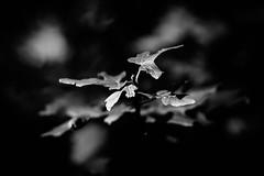 Photo walk Berlin XIV (manganite) Tags: 50mm 50mmf18d nikkor50mmf18d nikon nikonz nikonz6 z6 bw baum berlin berlinmitte black blackwhite blackandwhite blatt blätter bnw botanical deutschland dslm europa europe fullframe germany gesundbrunnen humboldthain leaf leaves lessismore minimal minimalism minimalismus minimalistic minimalistisch mirrorless mitte nature naturephotography nikkor park pflanzen plants simple simplicity tree trees white manganite lightroom f28 iso100 50mmf18 2019