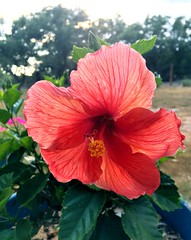 IMG_5316e ~ Hibiscus (BDC Photography) Tags: pipecreek texas usa hibiscus flower apple iphonese