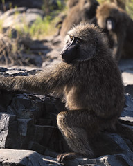 Monkey (Leon Sammartino) Tags: serengeti tanzania monkey animal wildlife photogrpahy telephoto river zoom xf lens fujifilm xmount 55200mm backlet hairy fur east africa safari rocks stream