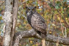 Garry oak great horned owl (RebelRob) Tags: britishcolumbia birds birdwatching birdsofprey greathornedowl bubovirginianus victoriabritishcolumbia vancouverisland