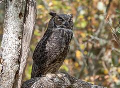 Power napping great horned owl (RebelRob) Tags: britishcolumbia birds birdwatching birdsofprey greathornedowl bubovirginianus victoriabritishcolumbia vancouverisland