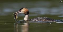 Great Crested Grebe (Mick Erwin) Tags: g nikon afs 600mm f4e fl ed vr lens tc14e teleconverter iii d850 mick erwin stoke trent staffordshire wildlife nature fish
