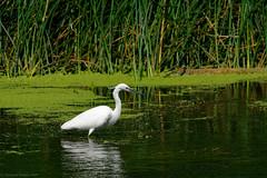 Little Egret (Cath-S) Tags: littleegret riverstour