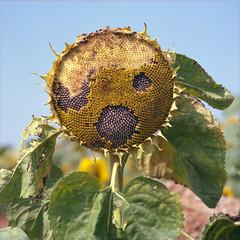 (Andrew :-)) Tags: bronicasqa zenzanons150mm35 kodakportra160 mediumformat sunflower 120 6x6