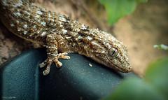 Geco (HunterProduction) Tags: lizard nature macro reptile rettili animals eyes photography wildlife wild snake iguana