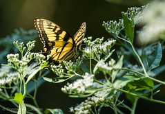 Large Tiger Swallowtail Butterfly (Constantine L.) Tags: nature insect swallowtail yellow tiger butterfly large