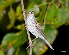 Chipping Sparrow (jt893x) Tags: 150600mm bird chippingsparrow d500 jt893x juvenile nikon nikond500 sigma sigma150600mmf563dgoshsms songbird sparrow spizellapasserina