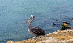 Pelican (E. Aguedo) Tags: paracas ngc nature wild wildlife bird feather water ica peru southamerica pacific ocean