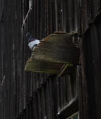 Pigeon Overlook (Hiyashii) Tags: animal bird daylight mill pigeon summer wildlife