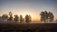 Glow (michel1276) Tags: westruperheide heide haltern halternamsee sunrise sonnenaufgang bäume trees zeissloxia loxia2128 sonya7iii fog foggy nebel morgengrauen