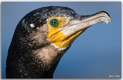 Great Cormorant (Bear Dale) Tags: great cormorant just finished eating fish scientific name phalacrocorax carbo ulladulla southcoast new south wales shoalhaven australia beardale lakeconjola fotoworx milton nsw nikond850 photography framed nature nikon bear d850 nikkor afs 200500mm f56e ed vr ocean blue saltwater beak scales guts eye
