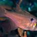 Blackspot Cardinalfish - Taeniamia melasma