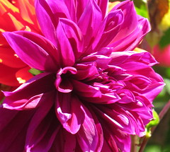 Shouting color! Dahlia closeup, Shore Acres State Park, Coos Bay, Oregon, July 2016 (Judith B. Gandy (on and off, off and on)) Tags: coosbay redflowers shoreacresstatepark dahlias flowers oregon