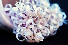 Clerodendron quadriculare en sortie de bain (Christian Chene Tahiti) Tags: canon 6d paea tahiti clérodendronquadraculare clérodendron fleur flower macro bokeh feuille vert polynésie nature extérieur couleur color closer flore flor flores pink pf fondnoir lowkey jardin blanc rose