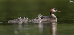 Great Crested Grebe & Chicks (Mick Erwin) Tags: great crested grebe nikon afs 600mm f4e fl ed vr lens tc14e teleconverter iii d850 mick erwin stoke trent staffordshire wildlife nature chick humbug westport lake