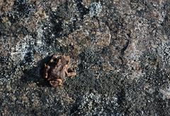 American Toad (ashockenberry) Tags: ashleyhockenberryphotography animal wildlife wildlifephotography wild wilderness reserve travel tourism nature naturephotography native majestic mountains amphibian toad beautiful habitat insectivorous forest grassland ecosystem west virginia