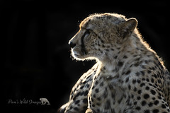 Bright Outline (PamsWildImages) Tags: cheetah nature naturephotographer wildlife wildlifephotographer africa pamswildimages pammullins bigcat