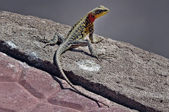 Hi !! (Lopamudra !) Tags: lopamudra lopamudrabarman lopa ladakh himalayanrockagama agama rockagama himalayanagama india lizard animal himalaya himalayas highaltitude highland beauty beautiful