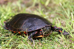 Painted Turtle (mineral2150) Tags: long point painted turtle