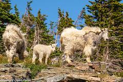 2019.Glacier.HiddenLakeTrail.July.26-07385-Edit.jpg (owenpeller) Tags: nanny hidden lake glacier logan pass 2019 mountain goat kid hiddenlake loganpass mountaingoat